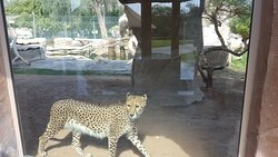 Cheetah walking past the glass viewing window