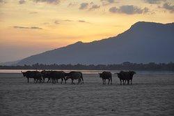 Water buffalo on the beach at sunset