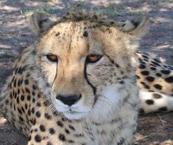 Cheetah Outreach - Franschhoek