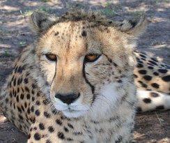 Cheetah Outreach - Franschhoek
