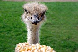 White Rock Ostrich Farm