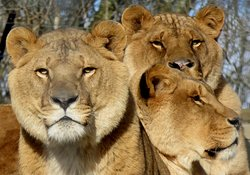 Ex Circus Lions ( neutered whilst with a circus so no manes)