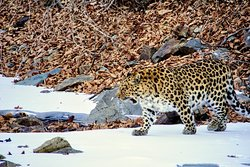 Amur Leopards Photography tour in a wild. Kedrovaya Pad' Reserve. Photo by our tourist Abilash Sekar.