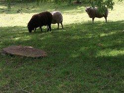 schapen in de tuin van kasteelhof