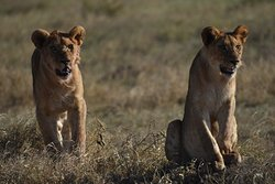 Lions cubs in the Serengeti!