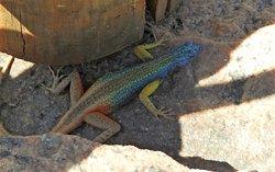 Il maschio di Platysaurus broadley è molto colorato