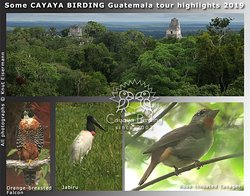 CAYAYA BIRDING tour highlights 2019: Orange-breasted Falcon, Jabiru, and Rose-throated Tanager in the northern lowlands of Guatemala.
