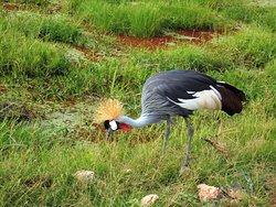 Grey crowned crane in Masai Mara