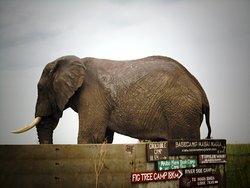 Elephant in Masai Mara
