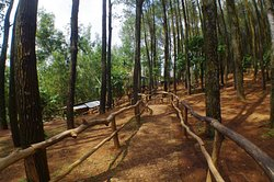 Wooden Railings along the pathway inbetween the PIne Trees