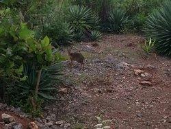 Dik Dik, piccole antilopi  nel giardino del Kasha ..