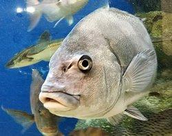 美味しい魚の水槽で泳ぐ、やや強面(こわもて)のクロダイ。