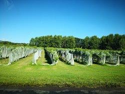 Large vineyard near Auckland airport
