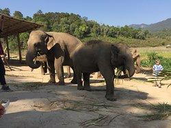 Rare elefanter