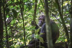 Chimpanzee Habituation Experience Kibale, a 15 minute drive from Crater Safari Lodge.