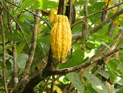 Cacao where chocolate really comes from