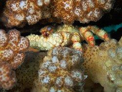 shy crab