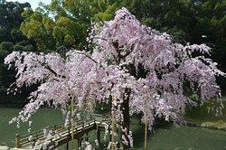 桜 ヤエベニシダレ