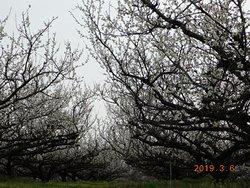 青谷梅林の景観一例