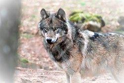 du loup