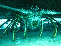 Lobster hiding in the Oro Verde Wreck