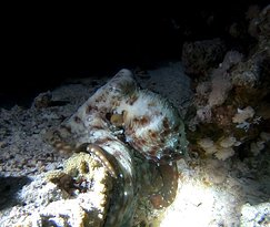 Octopus at the night dive.