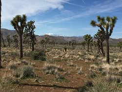 Joshua Tree National Park and the namesake trees framing the snow-capped San Bernardino Mountains.