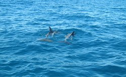Dolphins playing in the estuary