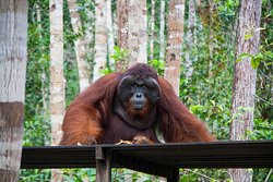 Toris Orangutan tour, tour por borneo en barca, orangutanes en libertad. Vacaciones en la selva de borneo