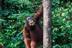 Orangutanes en libertad. Toris Orangutan tour, tour por borneo en barca, orangutanes en libertad. Vacaciones en la selva de borneo