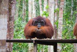 Orangutan. Toris Orangutan tour, tour por borneo en barca, orangutanes en libertad. Vacaciones en la selva de borneo