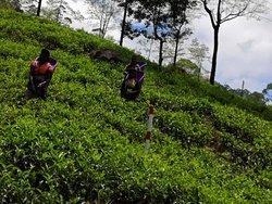 Plantation du thé et marcher du Nuwara elliya !
