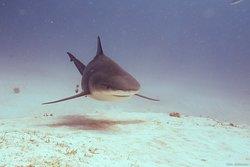 BullShark Dive, Playa del carmen, Mexico Yucatan