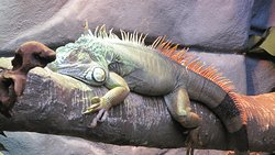 Iguana Sunning Himself