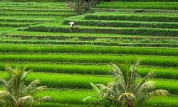 Jati Luwih rice terrace