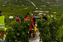 Intense work in the vineyards
