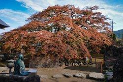 西善寺:コミネカエデを見つめる銅像