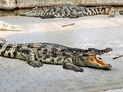 Large crocs bathing in the sun