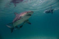 Bull sharks Bimini