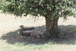Cheetahs resting under a shade in Masai Mara