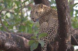 Even a beautiful Leopard