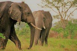 African Savanna Elephants in Ishasha south of Queen Elizabeth  National Park