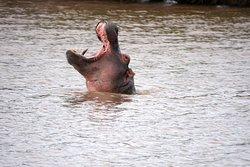 Hippo yawn.