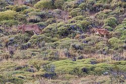 Puma and cub