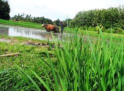 Bali Farming, Buffalo Riding Rice Fields Ploughing