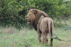 Male lion near Crocodile Bridge Kruger National Park