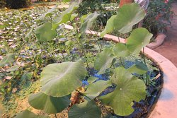 Indisk lotus