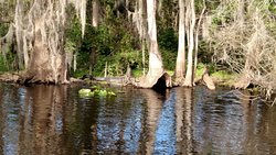If you look between the two big trees, you will see about a 10 foot alligator sunning himself on the St John's River.