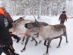 Les rennes de Eiki.