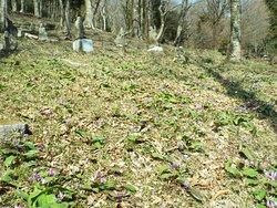 かなり沢山のカタクリが咲いていました。